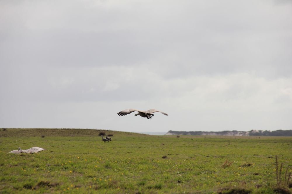 IMG_5111-geese