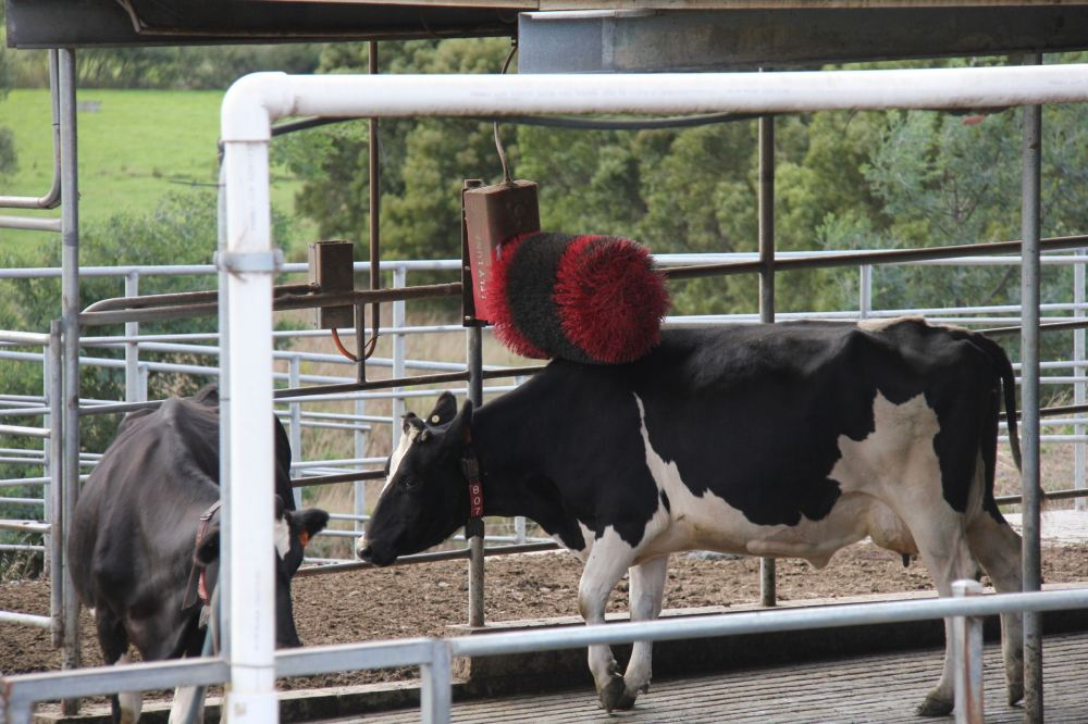IMG_5150-cow2