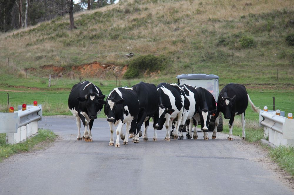 IMG_5165-cow1